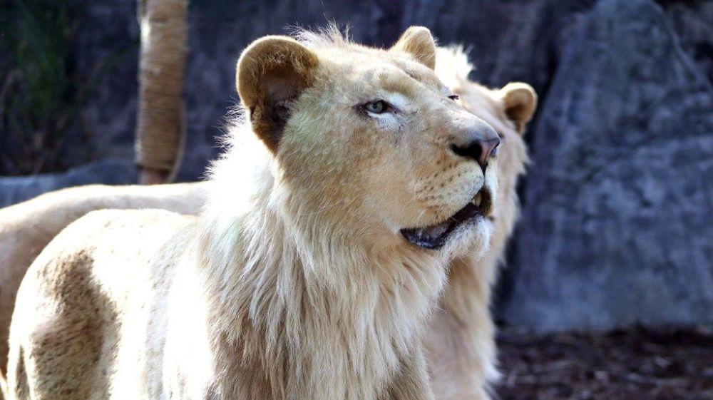 """Turanlı, """"Birinci önceliğimiz hayvanlarımızın mutluluğunu doğru koşullarda sağlamak. Dünya Doğa Koruma Birliği'nin (IUCN) standartları var. Ve biz bunlara uyduk. İsviçre'den CITES (Nesli Tehlike altındaki Hayvan ve Bitki Türlerinin Uluslararası Ticaret Sözleşmesi) Belgesi alıyoruz. Bu belge nesli tükenmekte olan hayvanların dünya üzerindeki yetki belgesidir. Biz tamamen buna bağlıyız. Tarım Orman Bakanlığı'ndan da belgelerimizi aldık. Bizim hedefimiz şu an 27 olan sayımızı çoğaltmaktı ki geçtiğimiz haftalarda 3 tane Bengal kaplanları doğdu diye ekledi."""
