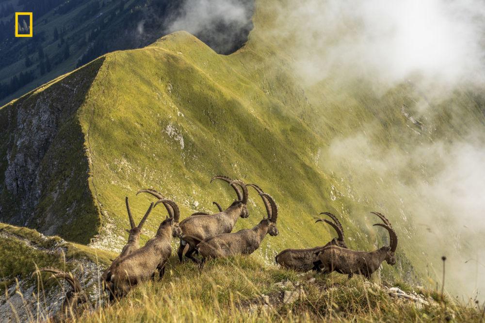 Doğa kategorisindeki Mansiyon Ödülü'nü İsviçre'deki Bernese Oberland'de Brienz Gölü üzerindeki bir bayırı geçen dağ keçisi sürüsünün fotoğrafı aldı.