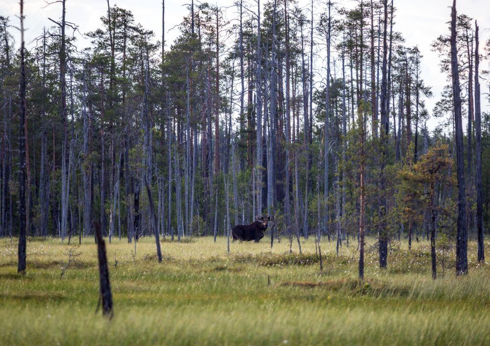 Karelya bölgesi, doğal güzellikleriyle biliniyor.  Fotoğrafta: Karelya'nın Segej bölgesindeki ormanda bir ren geyiği.