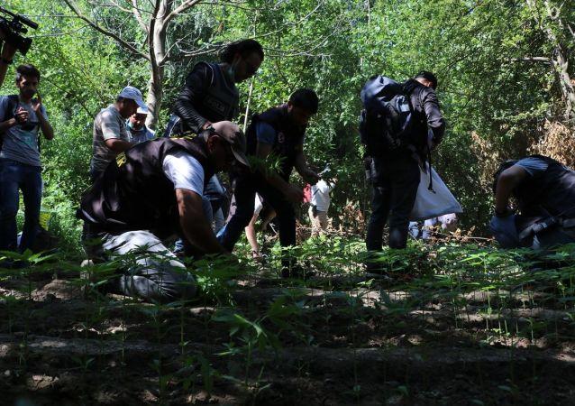 Diyarbakır'ın merkez Sur ilçesinde UNESCO Dünya Kültür Mirası Listesi'nde yer alan Hevsel Bahçelerindeki uyuşturucu operasyonunda 2 bin 385 kök Hint keneviri ele geçirildi.