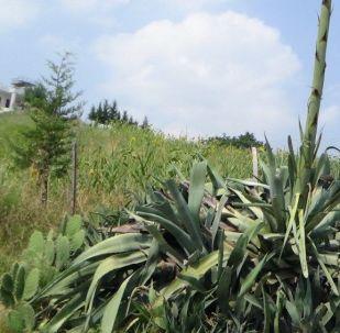 Ana vatanı Orta Amerika olan ve Meksika çöllerinin doğal bitki örtüsünü oluşturan Agave bitkisi, Osmaniye'nin Kadirli ilçesinde çiçek açtı.