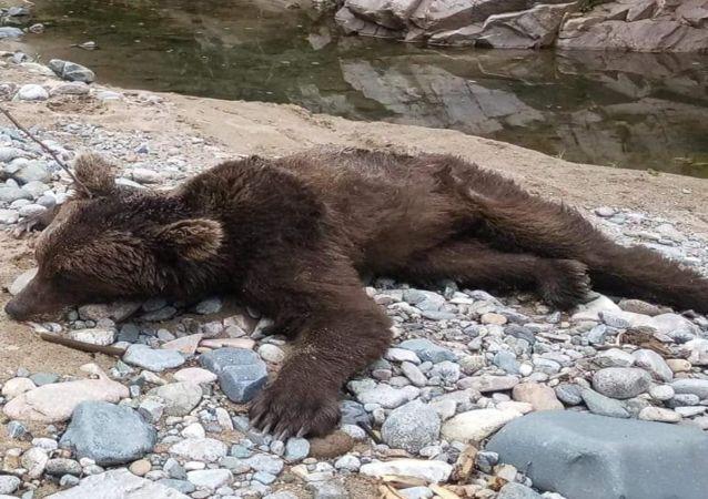 Boz ayı görüldüğü yerde, 3 gün sonra vurulmuş halde bulundu