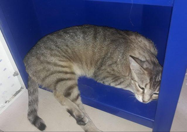 Pitbull'a parçalatılan hamile kedi Çıtır