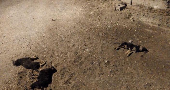 Yavru köpekleri aracıyla ezip kaçtı