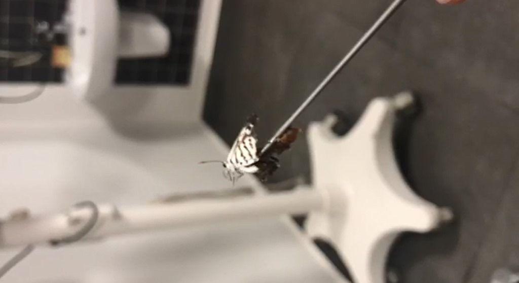 Kelebek, doktor tarafından pensle tutularak, canlı olarak kulaktan çıkarıldı.