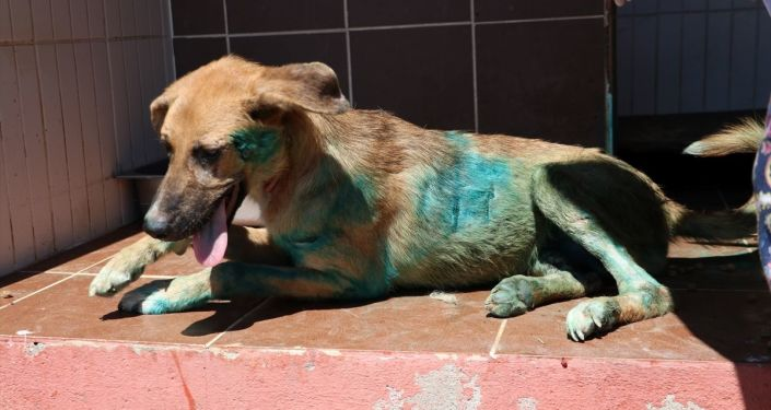 Sakarya'da, kesici aletle yaralanmış halde bulunan köpek tedavi altına alındı.