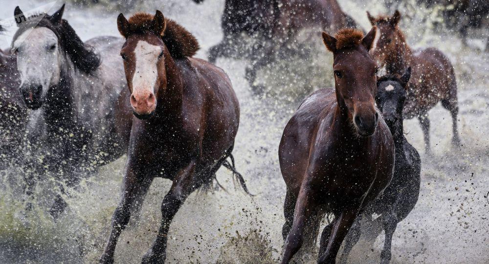 Uçsuz bucaksız bozkırın ortasında özgürce koşuşturan atlar, ülkedeki sıradan görüntülerden.