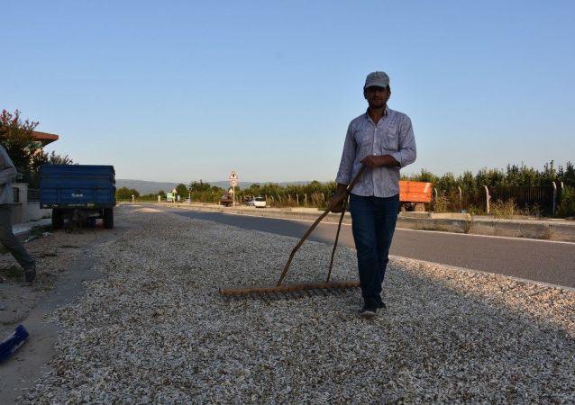 Yıllardır çekirdeklerini kurutma konusunda alan sıkıntısı yaşayan üreticiler, belediyenin izin vermesi ile birlikte kurutma işlemini yolda yaptıklarını ve asfaltta kurutma işleminin daha iyi olduğunu belirtti.