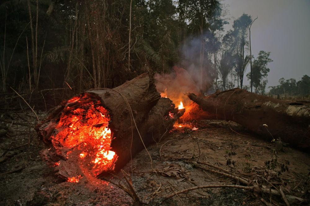 Tropikal Amazon ormanlarında alevlerin sardığı ağaç