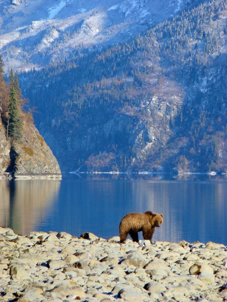 5. ABD Fotoğrafta: ABD'de bir göl kenarında dolaşan bozayı
