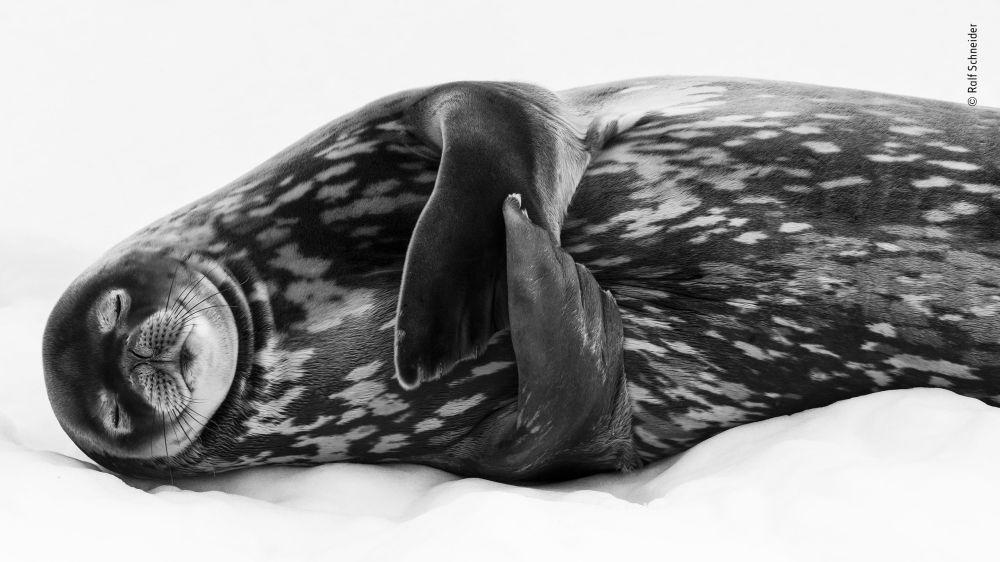 Yarışmanın 'Siyah ve Beyaz' kategorisinde takdir gören fotoğrafçı Ralf Schneider'in 'Sleeping like a Weddell' isimli fotoğrafı.