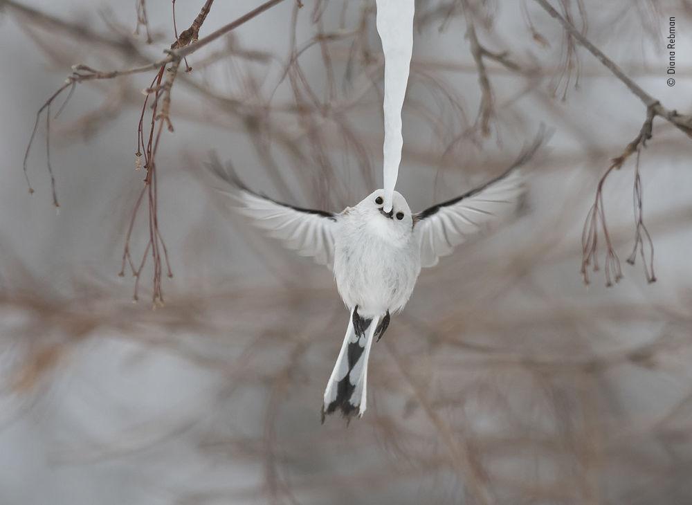 2019 Yılının Vahşi Yaşam Fotoğrafçısı Yarışması'nın 'Davranış: Kuşlar' kategorisinde takdir gören Diana Rebman'ın Long-tailed Tit isimli çalışması.