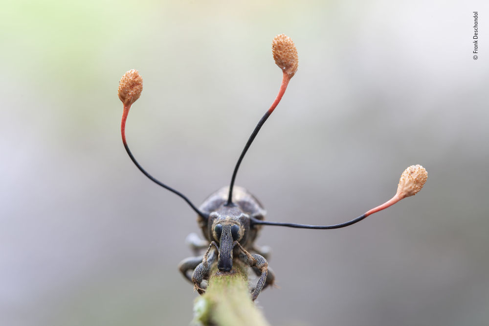 2019 Yılının Vahşi Yaşam Fotoğrafçısı Yarışması'nın 'Bitkiler ve mantarlar' kategorisinde takdire layık görülen fotoğrafçı Frank Deschandol'un    'The climbing dead' isimli buğday biti görüntüsü.