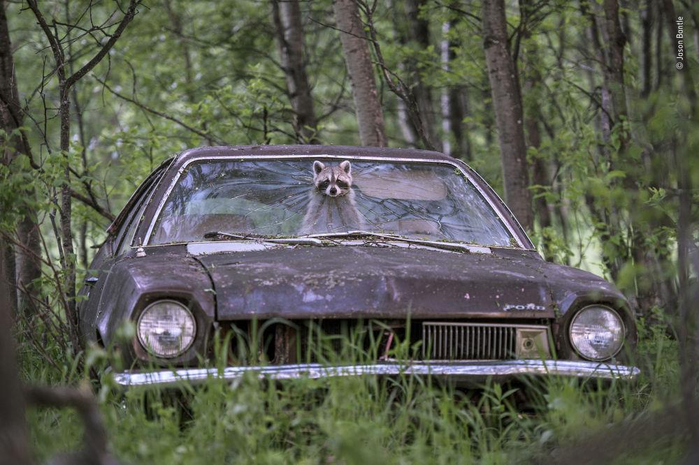 Yarışmanın 'Kentsel Vahşi Yaşam' kategorisinde takdir gören Kanadalı Jason Bantle'nin Lucky break isimli fotoğrafı.
