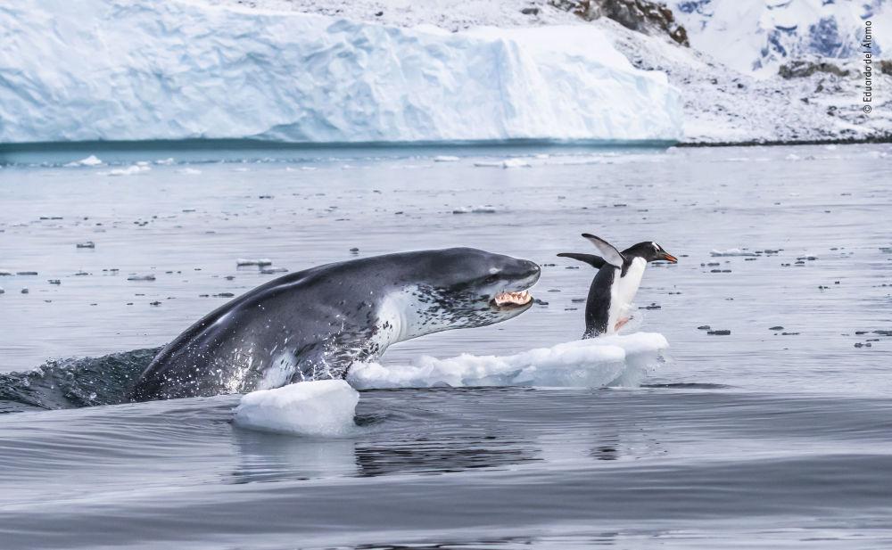 Yarışmanın 'Davranış: Memeliler' kategorisinde jürinin takdirine layık görülen İspanyol fotoğrafçı Eduardo Del Álamo'nun 'If penguins could fly' isimli çalışması.