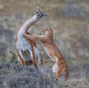 Memeliler kategorisinin kazananı Alman yarışmacı Ingo Arndt'ın 'Yetişkin bir erkek guanacoyu avlayan bir puma' isimli çalışması.