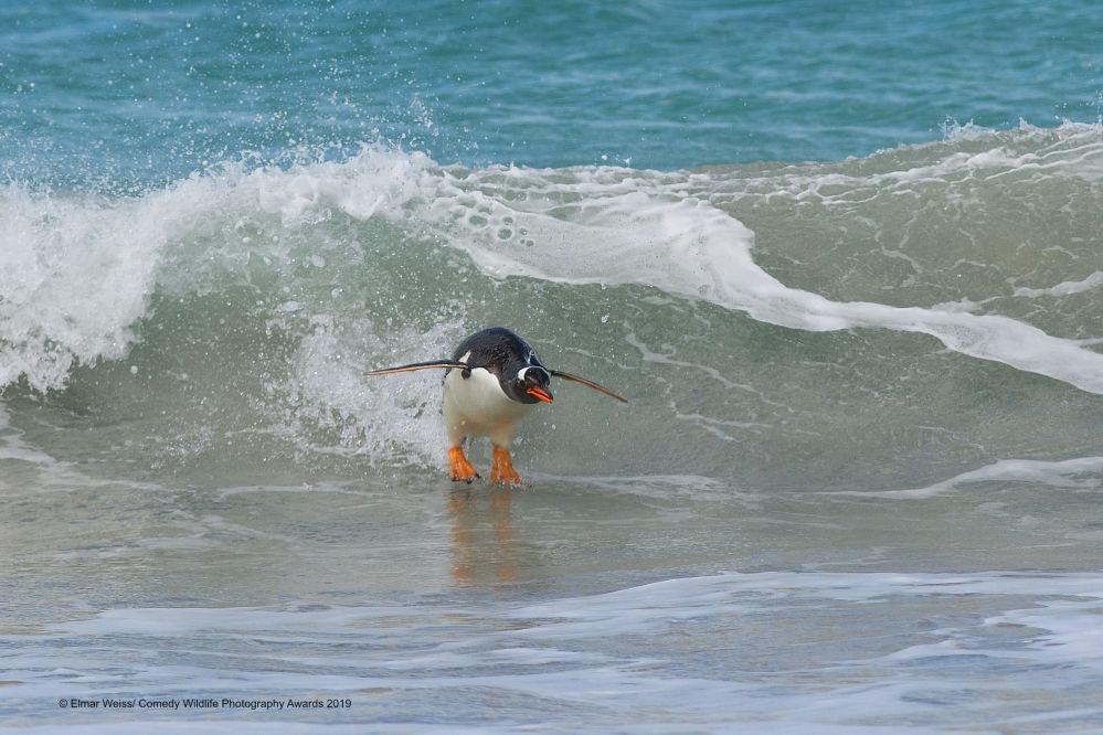 2019 Komik Vahşi Yaşam Fotoğrafları Yarışması'nda jürinin takdirine layık görülen Alman fotoğrafçı Elmar Weiss'in 'Güney Atlantik Tarzı Sörf' isimli çalışması.