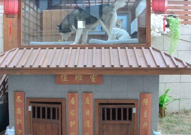 Çin'de klimalı bir köpek malikanesi