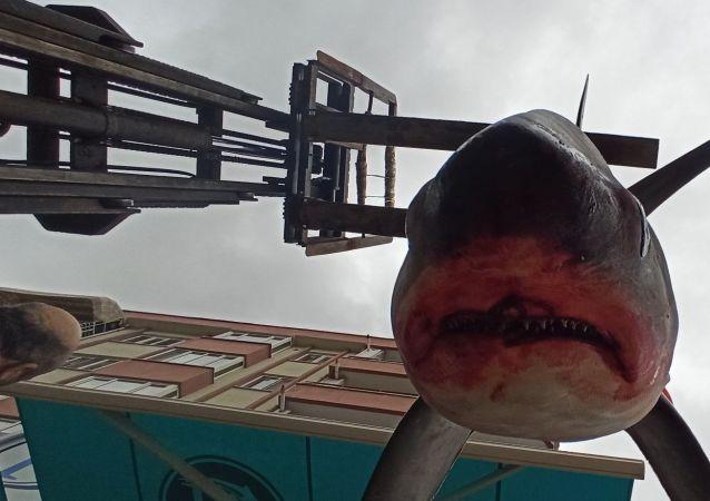 Bursa'da balıkçıların ağına takılan 200 kilo 3.5 metre boyundaki köpek balığı, vatandaşların ilgi odağı oldu.