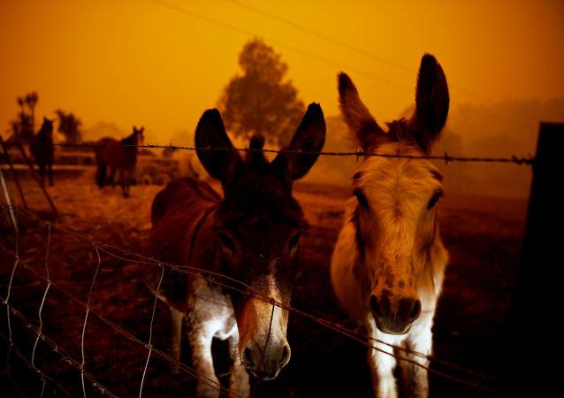 Avustralya'nın yangınlarla kavrulan Yeni Güney Galler eyaletinde korku içinde bekleşen çiftlik hayvanları