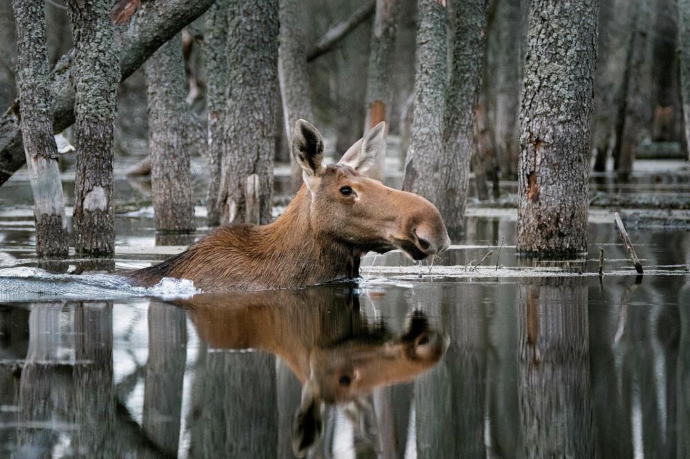Rusya'nın Vahşi Doğası 2019  Fotoğraf Yarışması'nı kazanan Dmitriy Vilyunov'un 'Ormanda Yüzen' isimli çalışması.