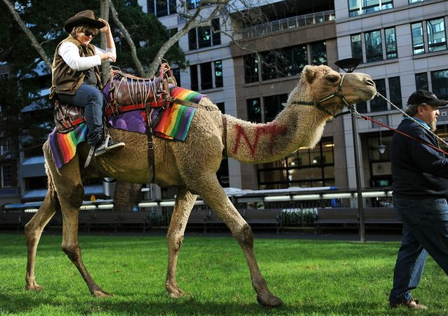 Avustralya'daki toplam yabani deve sayısının 1 milyonun üzerinde olduğu tahmin ediliyor, Ulusal Hörgüç gününde halk evcil develere binerek eğleniyor.