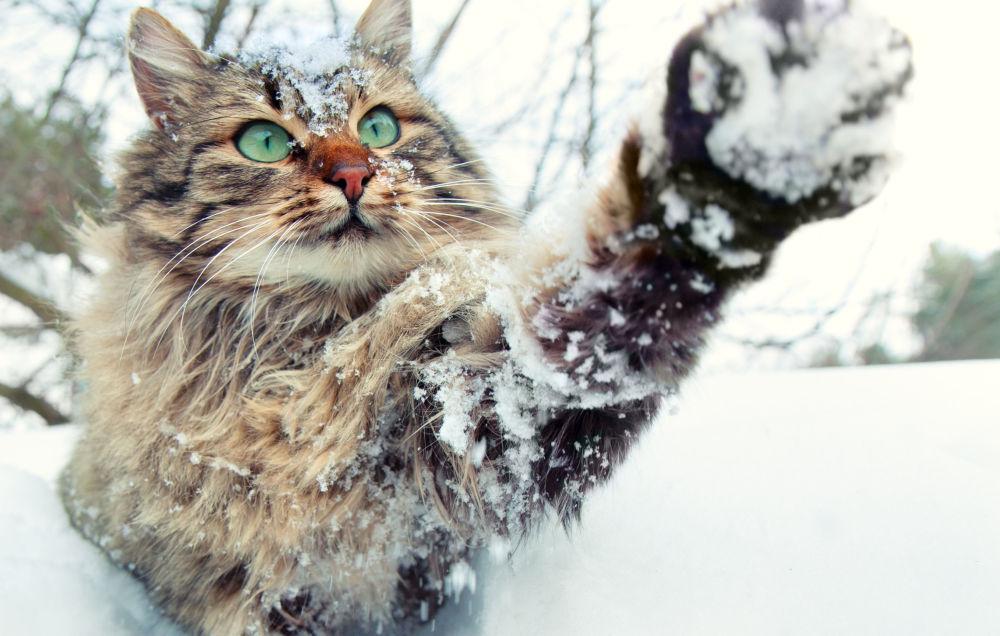 Kar taneleriyle oynayan kedi.
