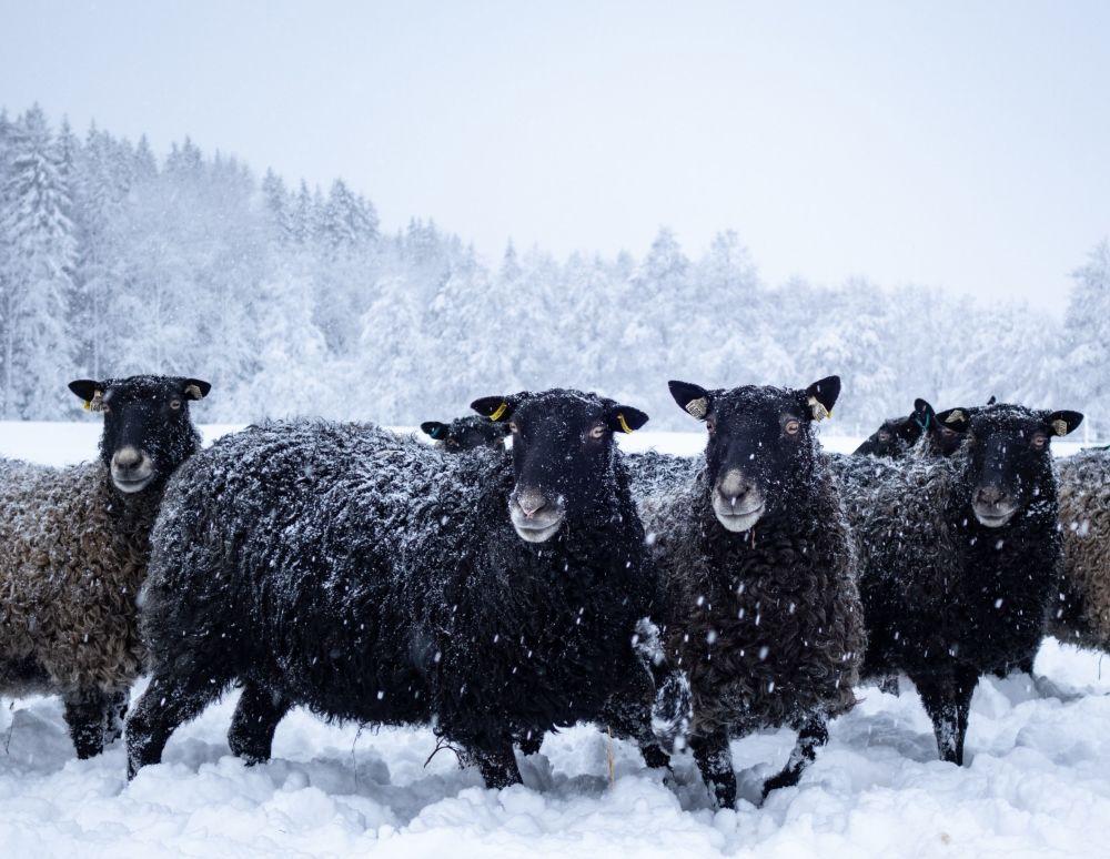 Karlı tarlada otlayan koyun sürüsü.