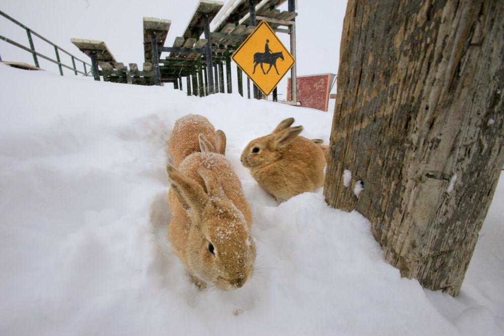 ABD'nin Colorado kentinde  görüntülenen tavşanlar.