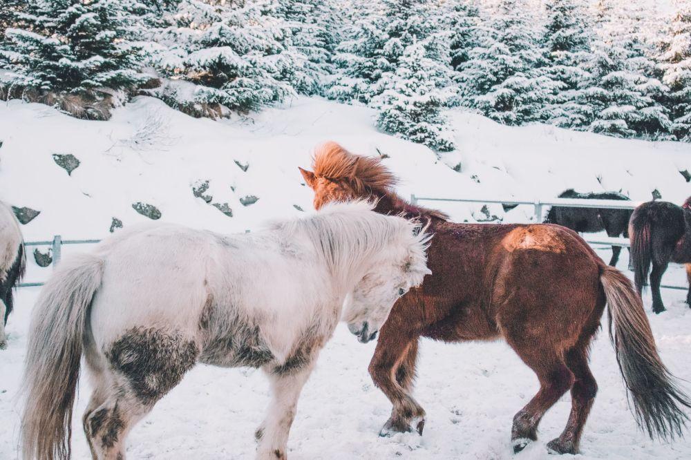 Kışın tadını çıkartan atlar.