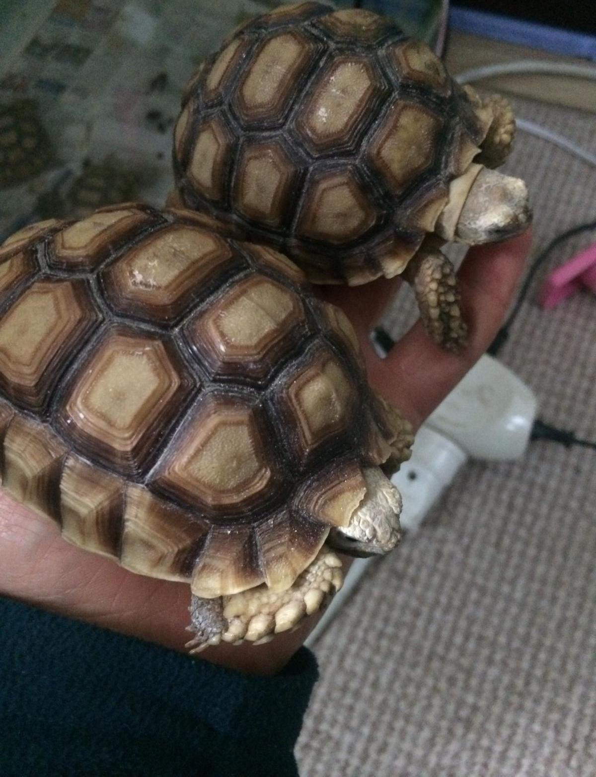 Mahmuzlu kaplumbağa (sulcata tortoise)
