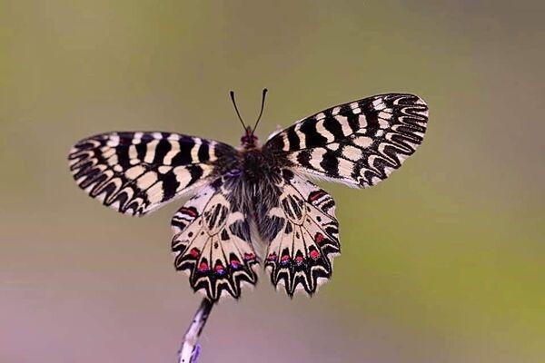 Uludağ'ın zirvesindeki kelebekler: Aralarında 6 bin metre yükseklikte yaşayabilen Apollo da var - Sputnik Türkiye