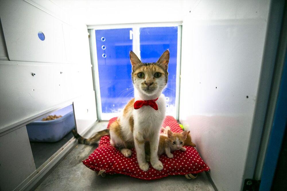 Proje kapsamında anne kediler kırmızı kurdelelerle de süsleniyor.