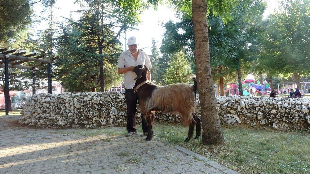 2 aylıkken 250'te ye satın aldığı keçiye gözü gibi bakan Uludağ, dostunu park ve caddelerde gezdiriyor.