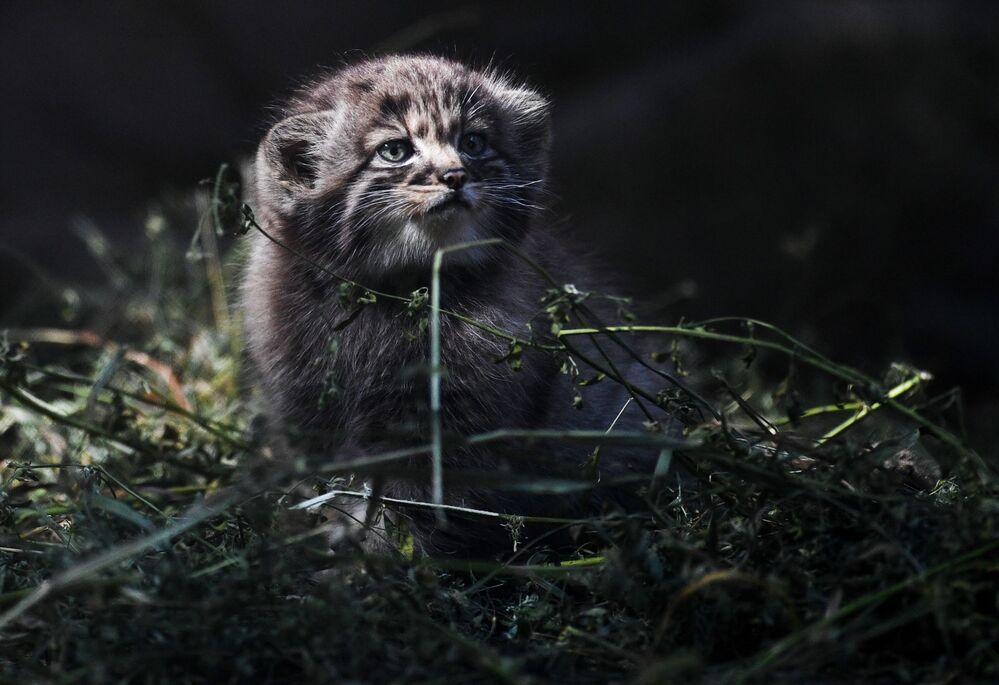 Pallas kedileri Rusya'da ve uluslararası anlamda nesli tehlikedeki türler arasında görülüyor.