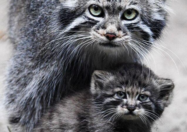 Novosibirsk'teki hayvanat bahçesinde yaşayan üç dişi pallas kedisi, 16 yavru doğurdu.