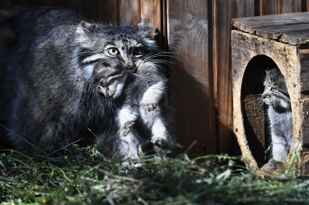 Doğan kediler dünyadaki başka hayvanat bahçelerine dağıtılıyor.