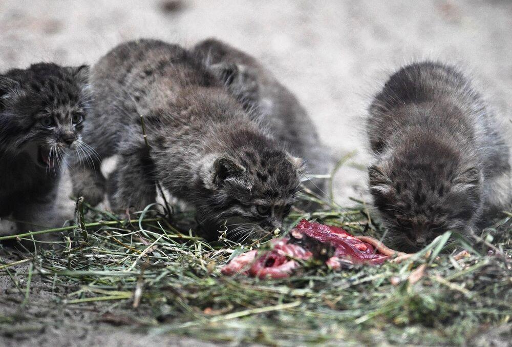 Günümüzde Almanya, Çekya, Polonya, Fransa, İsviçre, Avusturya ve İngiltere'de Novosibirsk'te doğan yavrular yaşıyor.