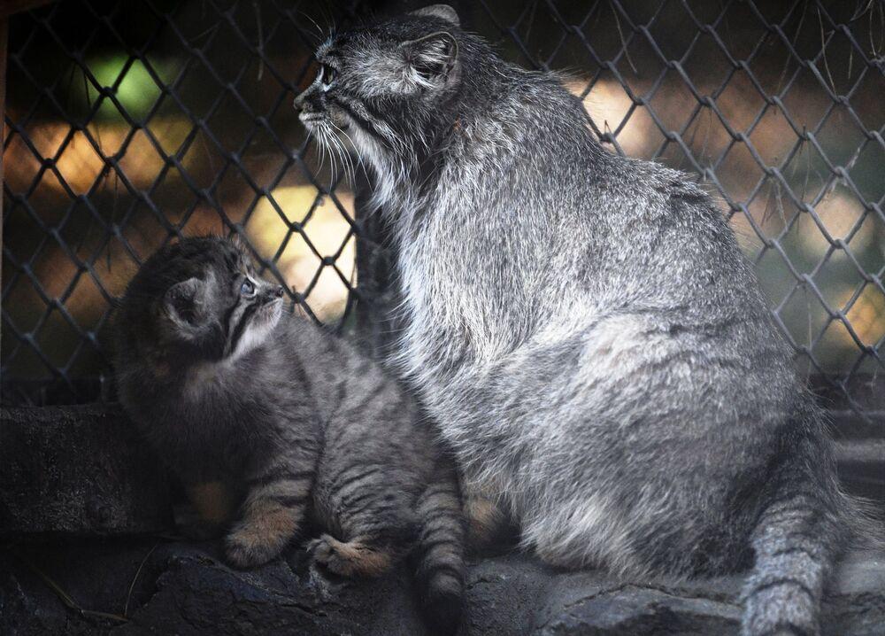 Novosibirsk Hayvanat Bahçesi'nde anne kedi, yavrusu ile birlikte.