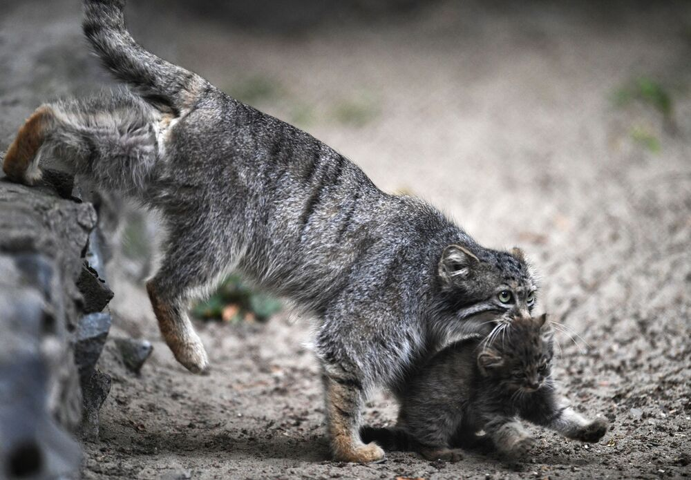 Yavrular şimdi kısa aralıklarla barındıkları yerlerden çıkıyor,  sonra da hemen yuvalarında ya da annelerinin arkalarında saklanmaya çalışıyorlar.