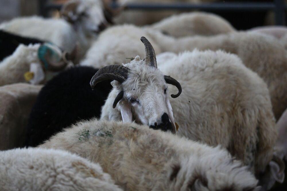 Yıllarca Erzurum, Muş, Kars, Yozgat, gibi doğu vilayetlerinde besicilik yapan hayvancılar, kurbanlıklarını satmak için çaba sarf ediyor. Hayvan Pazarı'ndaki bazı kurbanlıklar ise özellikleriyle ön plana çıkıyor.