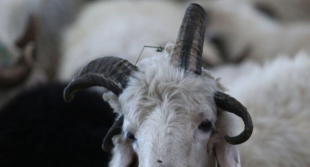 """Kars Arpaçay'dan getirilen 4 boynuzlu koç Osmangazi ilçesindeki havyan pazarının maskotu oldu. 4 boynuzlu koçu kendisinin besleyip büyüttüğünü belirten Nihat Kotan, """"Ne cinsi olduğunu bilmiyoruz. Her 2 senede bir böyle hayvan doğuyor. 150 tane hayvanla geldik. Şu ana kadar yarısını sattık. Müşteriler bayağı ilgi gösteriyor. Ama kimse kurban olmuyor diye pek yanaşmıyor. Osmangazi Belediye Başkanı Mustafa Dündar da müşterimiz oldu. Ona da kurbanlık sattık"""" dedi."""