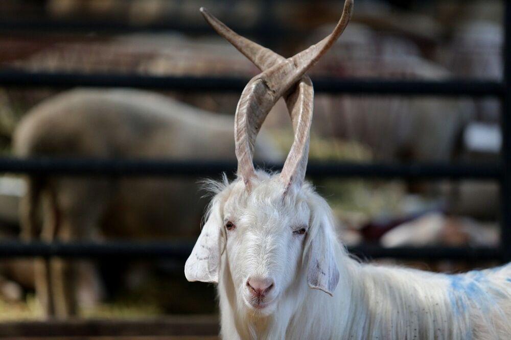Kurban pazarının bir başka dikkat çeken hayvanı ise, boynuzları birbirine karışmış olan keçiydi. Görenlerin dönüp bir daha baktığı keçi de sahibini bile yanına yaklaştırmıyor.