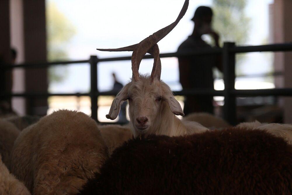 İlginç keçiyi görenlerin hemen fotoğraf çekmeye çalıştığını belirten sahibi Hamza Aydın ise, keçinin 55- 60 kilo geldiğini ve nadir olarak böyle görüldüğünü söyledi.