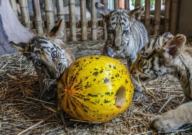 Aslan, Sibirya kaplanı, Bengal kaplanı, karakulak, vaşak, puma, siyah leopar gibi 13 türden canlıya ev sahipliği yapan Aslan Park'ta, 2 Bengal kaplanı, 2 Sibirya kaplanı ve 3 yavru Bengal kaplanına, kutlamalar kapsamında sevdikleri yiyecekler ve oyuncaklar verildi.