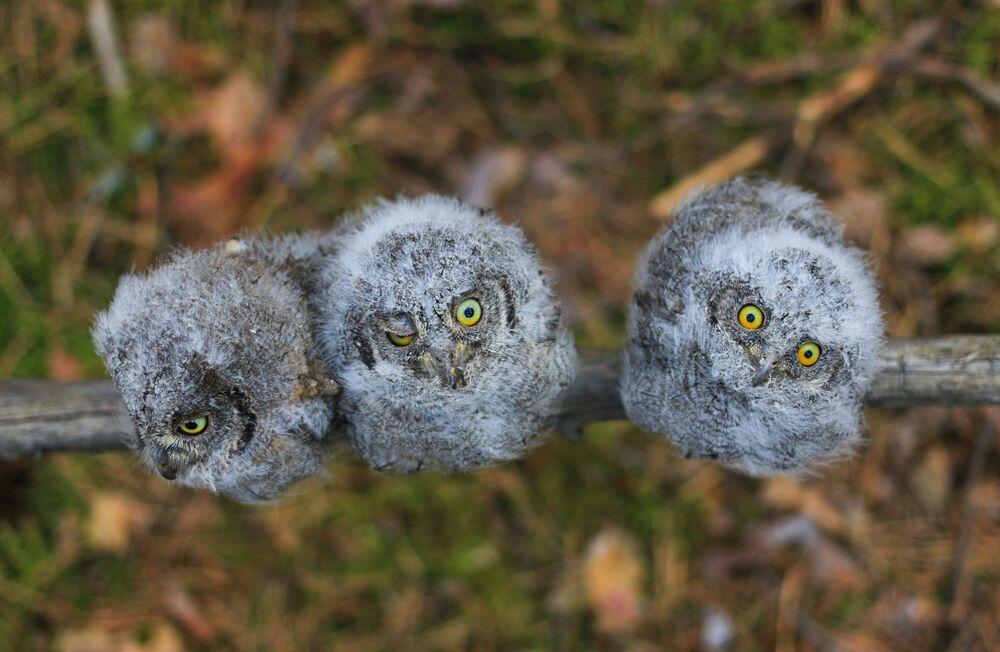 Yarışmanın 'Sevimli Hayvanlar' kategorisinde birinci seçilen Aleksey Levaşkin'in fotoğrafında Rusya'da yaşayan en küçük baykuş türü olan splyuşka'lar görüntülendi.