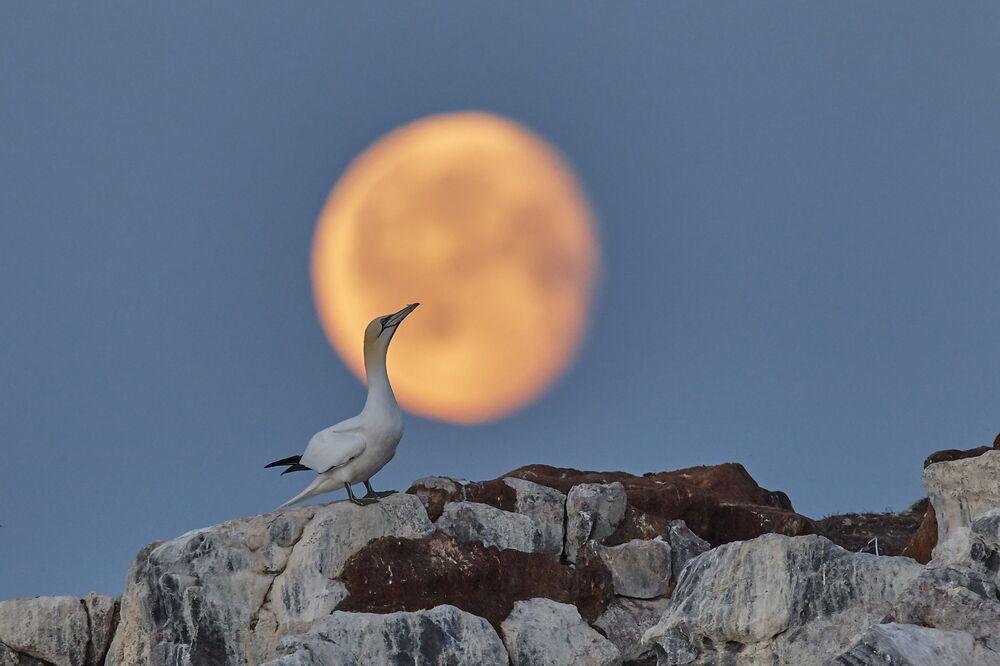 Yarışmanın 'Vahşi Hayvanlar' kategorisinin kazananı fotoğrafçı Oleg Perşin'in 'Ay Rüyaları' isimli  oluşa kuşu görüntüsü, Barents Denizi'ndeki Rusya'ya ait Harlov Adası'nda çekildi.  Oluşa kuşu, Rusya'da tehlike altındaki türlerin listesi olan Kırmızı Kitap'ta yer alıyor.