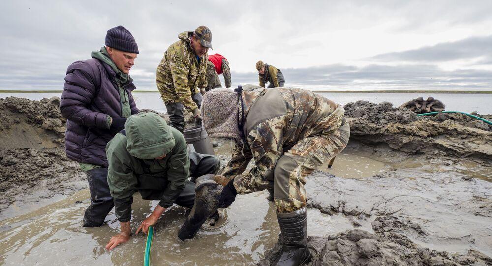 Yetişkin bir mamut iskeleti Yamal'da bulundu