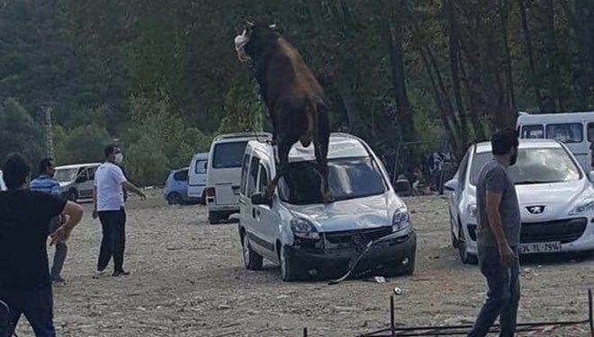 Samsun'da kesime götürülen kurbanlık boğa, sahibinin elinden kurtularak üzerine çıktığı park halindeki hafif ticari araca çıktı. Boğa, güçlükle sakinleştirildi.