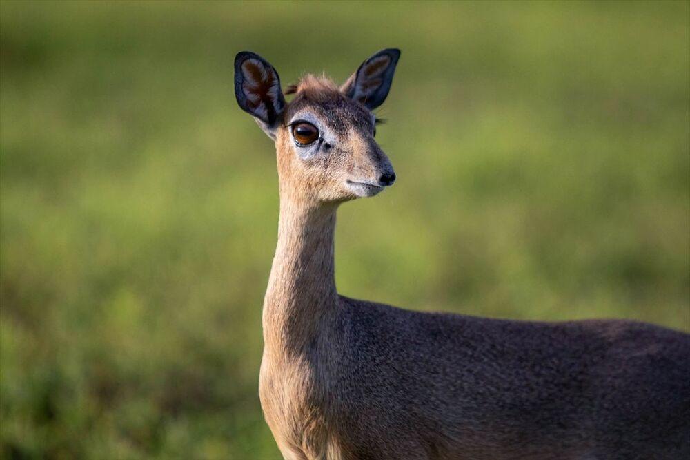 Dünyanın en küçük antilopları Türkiye'nin Mogadişu Büyükelçiliği'nin bahçesinde yaşıyor.